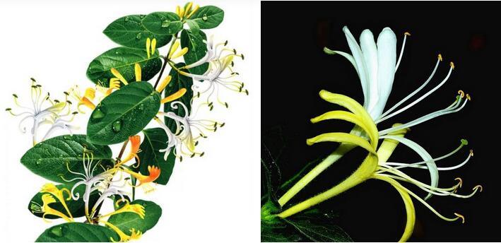 清热解暑金银花,金银花的应季吃法